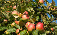 From the Peasgood's Nonsuch to the Arlingham Schoolboy: Why rare apples matter