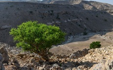 Neal's Yard Remedies plants roots for sustainable frankincense supply