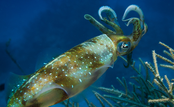 A protein discovered in squid could be used to make eco-friendly fabrics | Credit: Tracy Candish