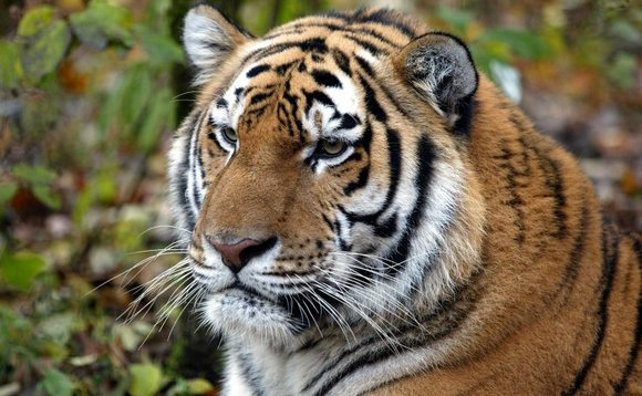 Could charging more for sustainable palm oil save tigers and orang-utans?