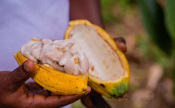 Ripe cocoa pods ready for harvesting (Mondelez International / Kwabena Amankwaa Agyeman)