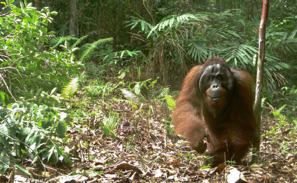 A male orangutan | Credit: Oliver Wearn/ZSL