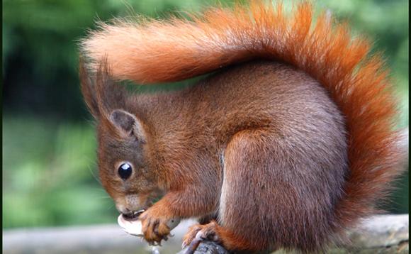 Red squirrels are among the iconic British species which could be wiped out on the archipelago within the next ten years